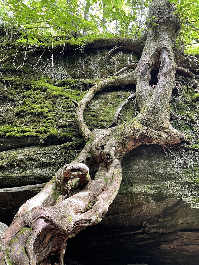 knotted tree roots