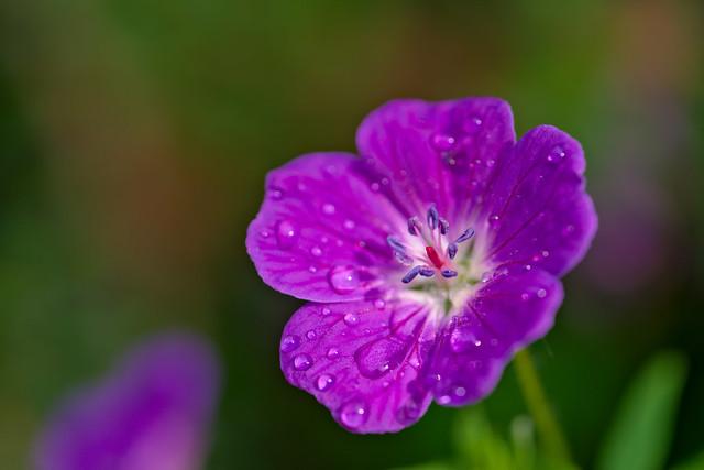 Geranium after Rain