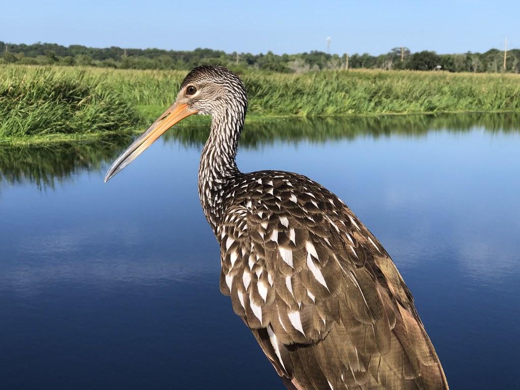 2021.07.17 Sweetwater Wetlands Limpkin 3i