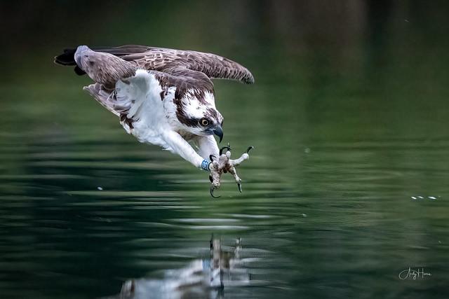 Osprey talons ready