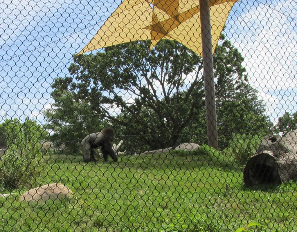 Como Park Zoo - Western Lowland Gorilla