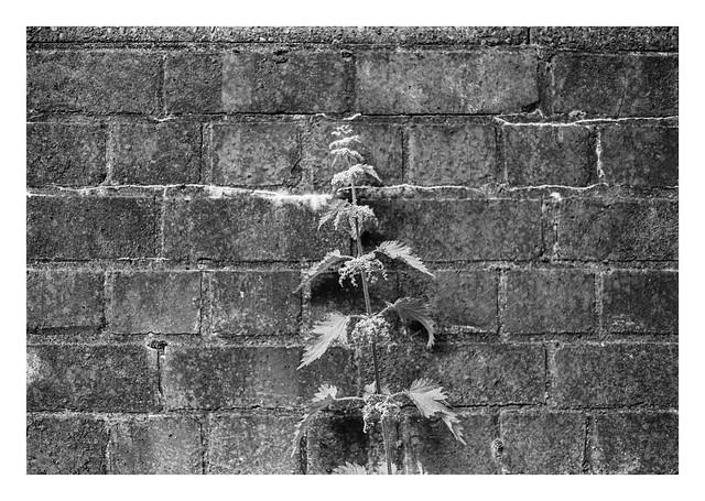Nettle wall