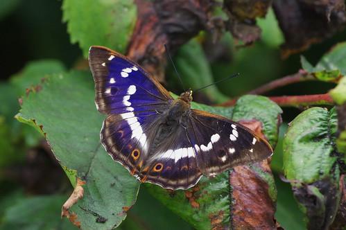 purpleemperor apaturairis insect butterfly wild wildlife nature barhill cambridgeshire garden cherrytree
