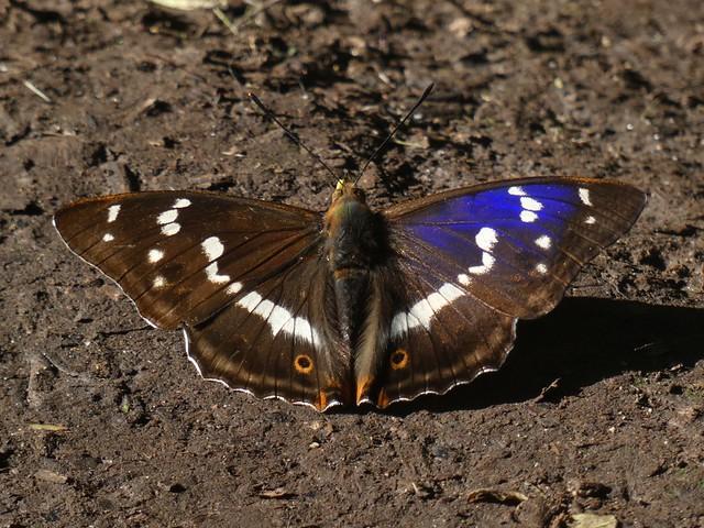 Purple Emperor (Male)