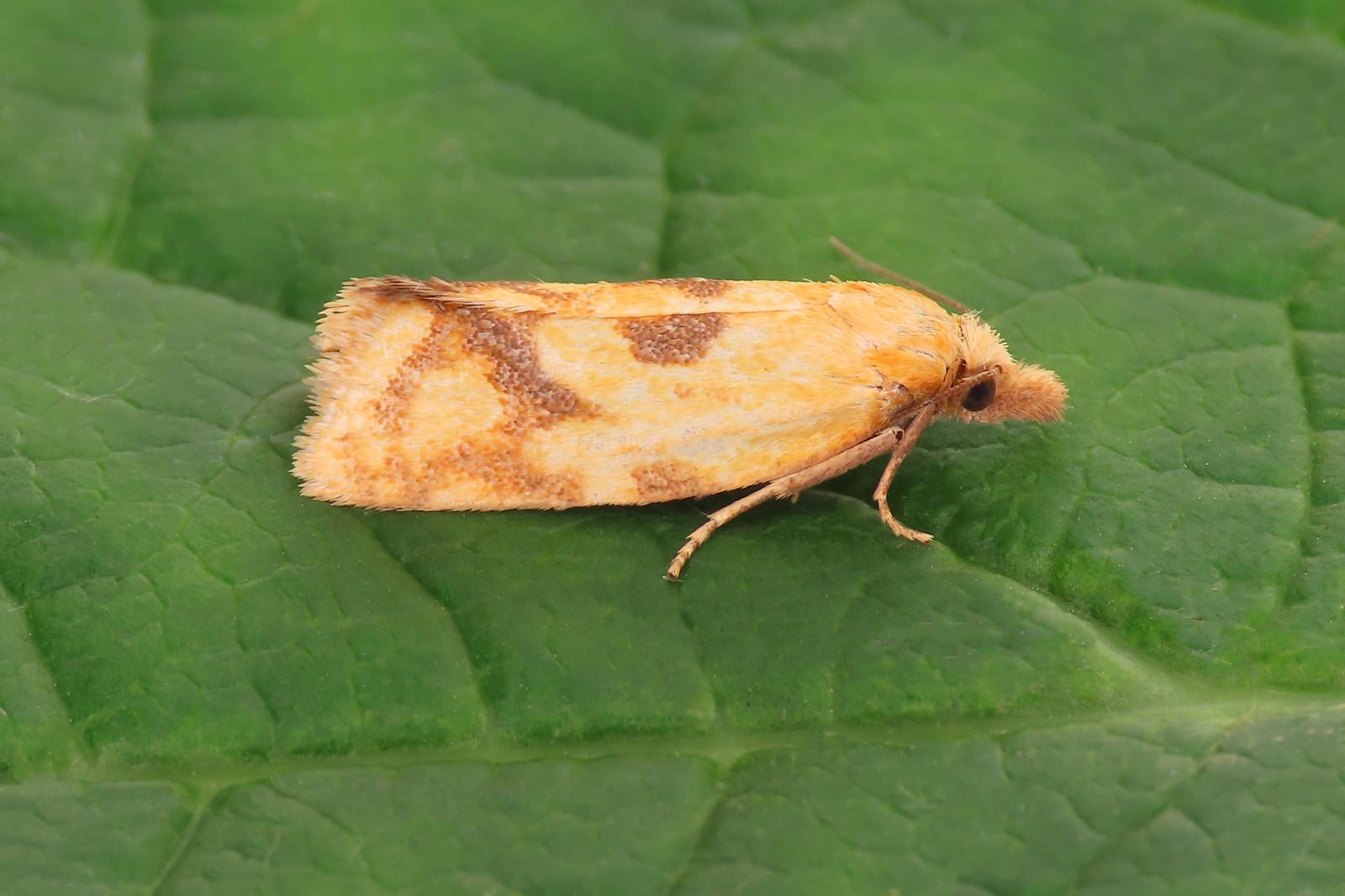 49.109 Common Yellow Conch - Agapeta hamana