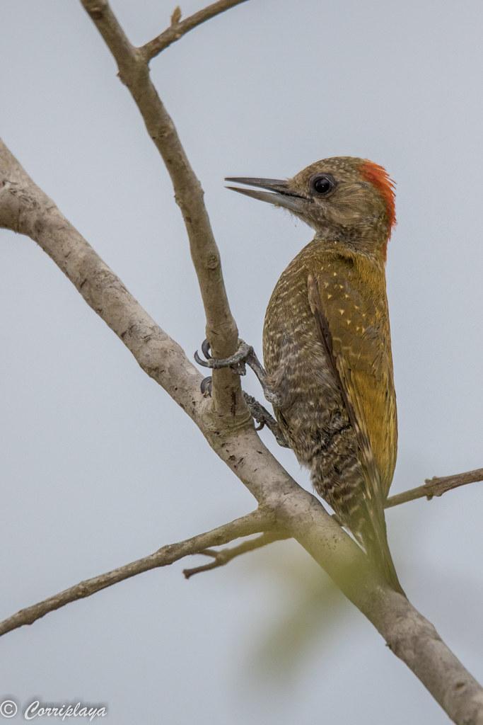Carpintero chico, Veniliornis passerinus, Little Woodpecker