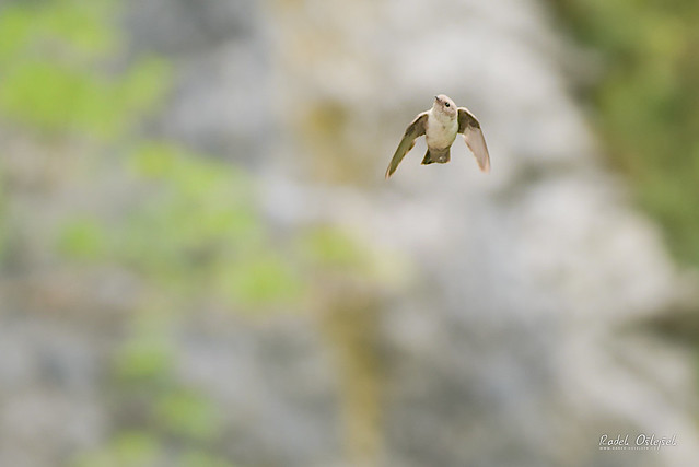 Eurasian crag martin, břehule skalní, SLO, 2021