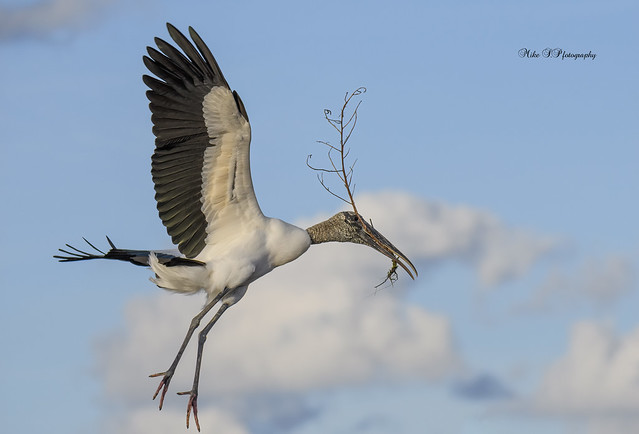 Woodstork with nesting materials