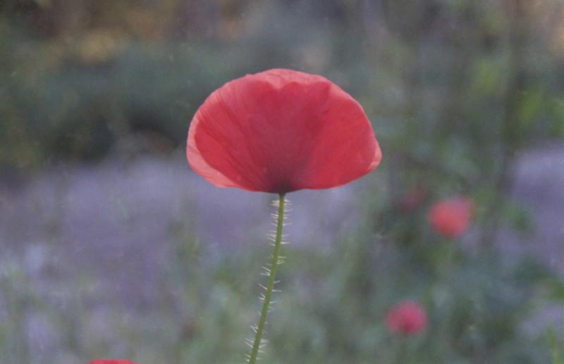 Centon 100 Poppy