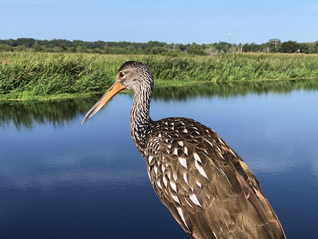 2021.07.17 Sweetwater Wetlands Limpkin 2i