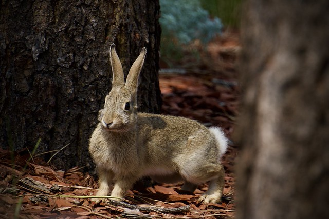 Peter cotton tail