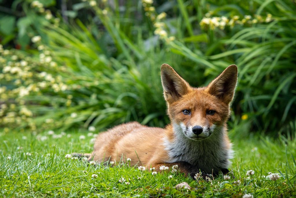 Fox in a Neighbours Garden