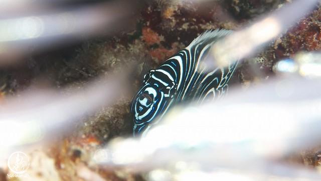 スカシテンジクダイの壁の向こうにはタテジマキンチャクダイ幼魚ちゃん♪