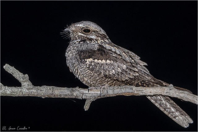 Noitibó-da-europa | European nightjar (Caprimulgus europaeus)