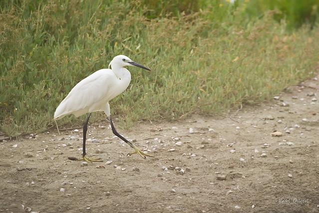 Little egret, volavka stříbřitá, SLO, 2021