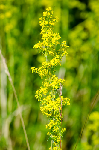 Lady's bedstraw flowering, Compton Park