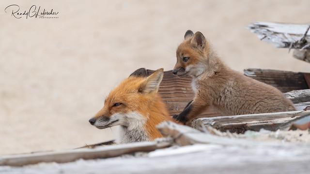 Red Fox   Vulpes Vulpes   2021 - 44