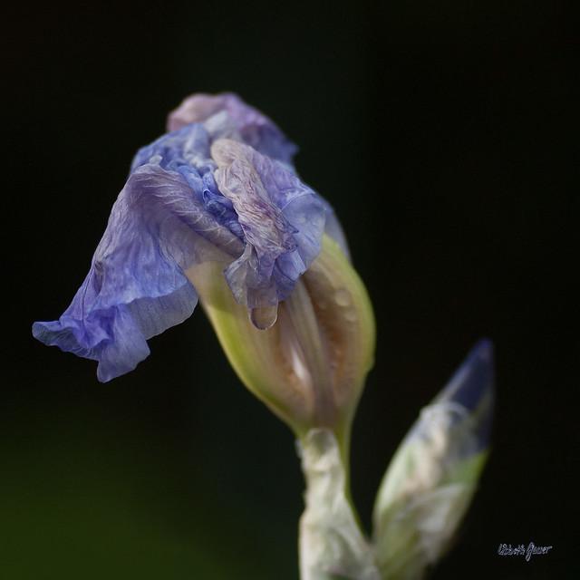 Iris V