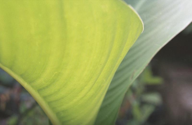 Centon 200 Cana Lily