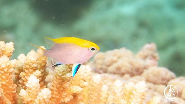 クロスズメダイ幼魚ちゃんはそろそろ体色変化するかなぁ。
