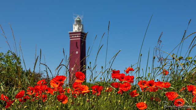 Poppies and Lighthouse