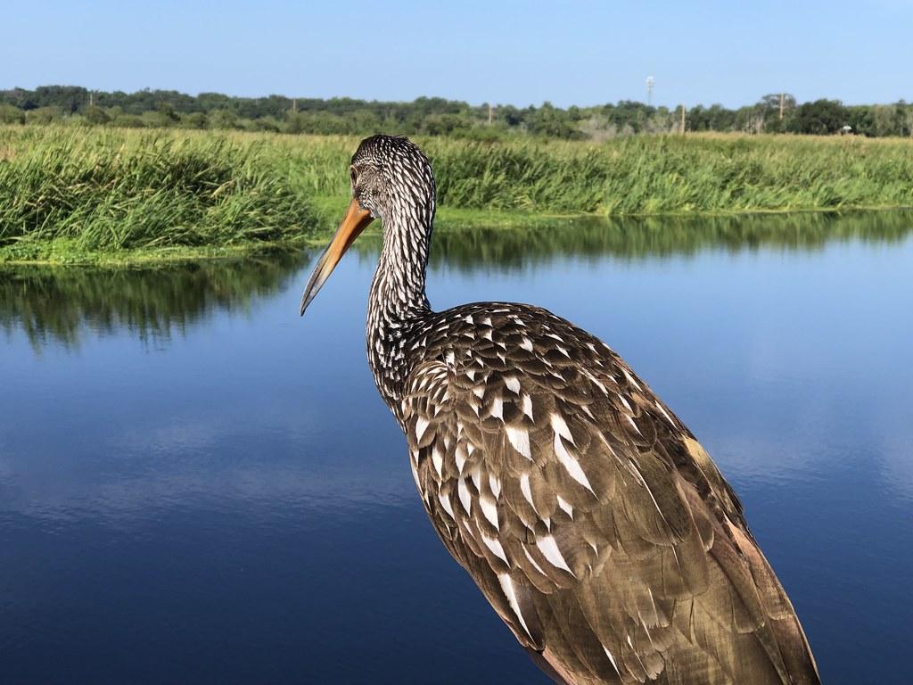 2021.07.17 Sweetwater Wetlands Limpkin 1i