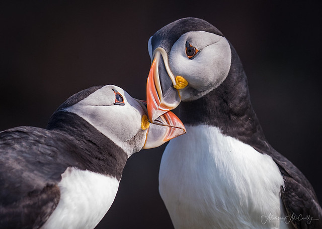 Puffin Kisses