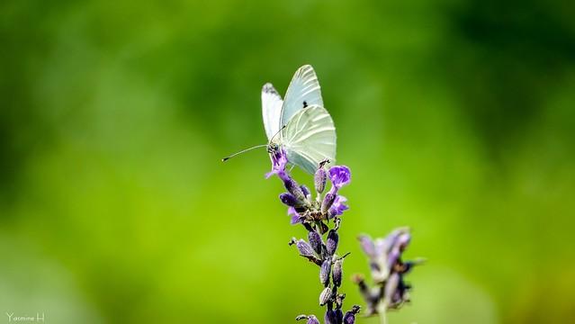 9949 - Butterfly