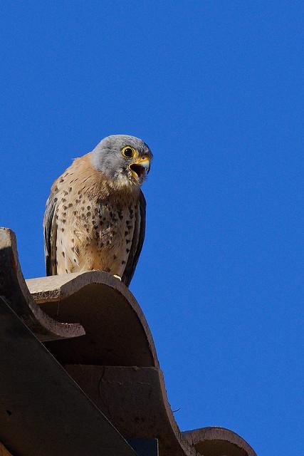 Faucon crécerellette - Falco naumanni - Lesser Kestrel - Rötelfalke - Cernícalo primilla - Grillaio