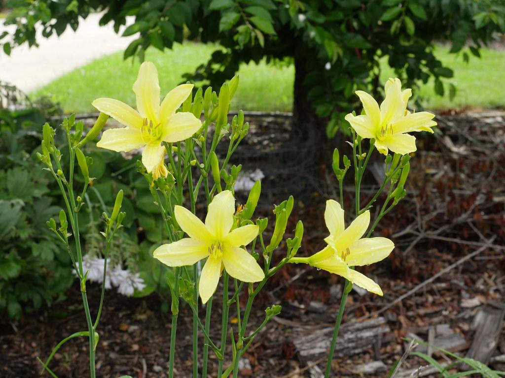 Hemerocallis lilioasphodelus 7/2021 Lemon Daylily-