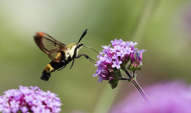 0P7A0562   Hummingbird Clearwing Moth, Canada
