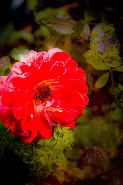 Rose in a Pot