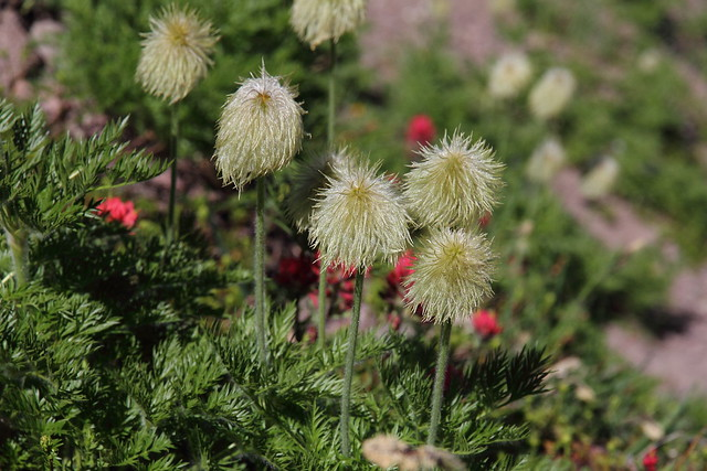 Anemone occidentalis, Western pasque flower