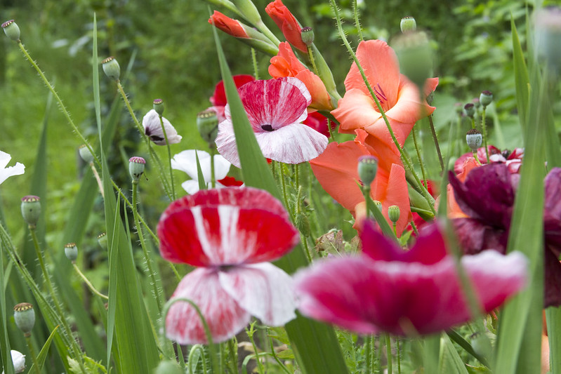 Маки и гладиолус / Poppies and gladiolus