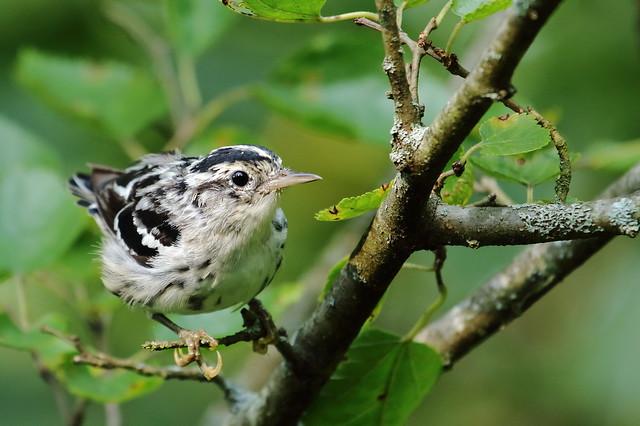 Juvenile Black-and-white Warbler