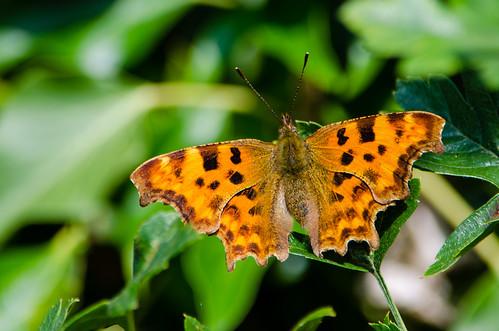 Comma butterfly, summer generation