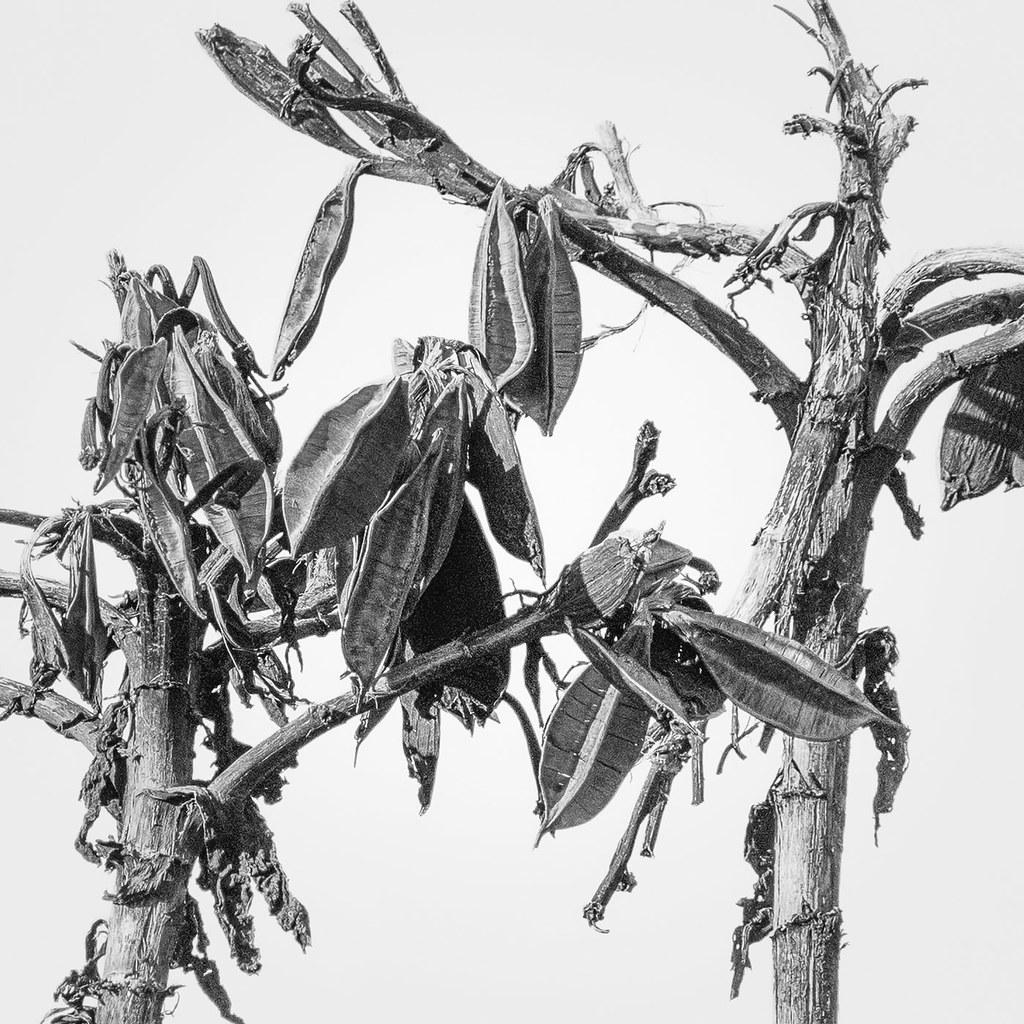 Gymea Lily 180721.1