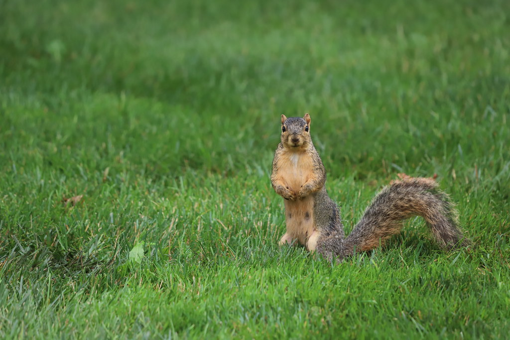 Fox Squirrels in Ann Arbor at the University of Michigan 194/2021 32/P365Year14 4780/P365all-time (July 13, 2021)
