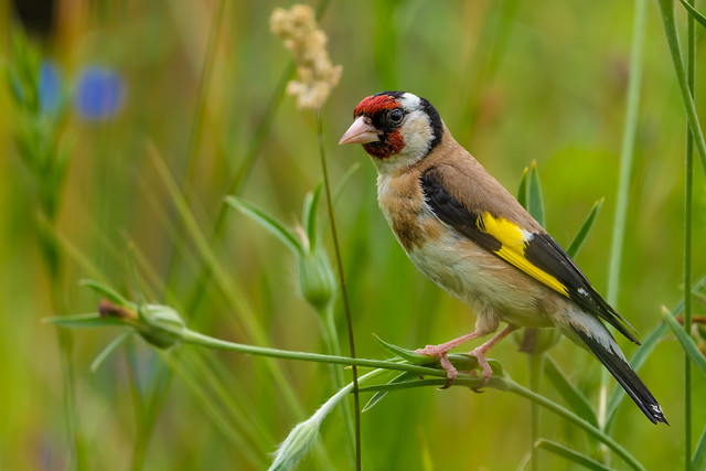 foraging Eurasian Goldfinch