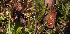 2015-08-26_male orange swift moth emergingx2