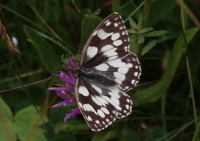 Butterfly - Melanargia galathea - Marbled White