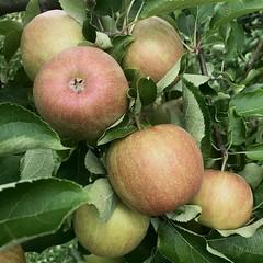 Apples at Thies Farm & Market on North Hanley