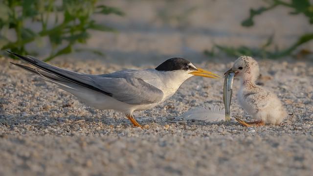 Least Terns