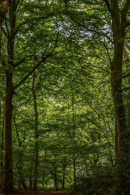 Trees in Captain's Wood