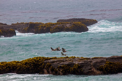 Pelicans-at-SPL
