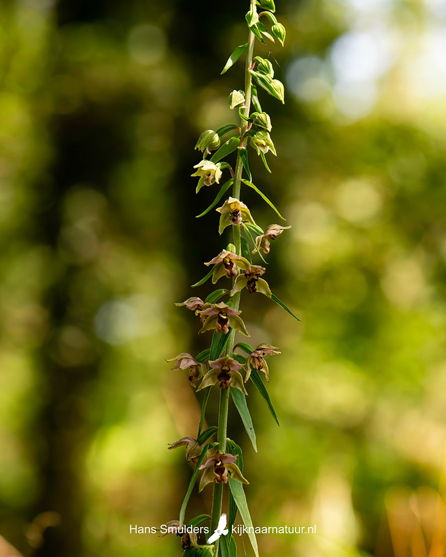 brede wespenorchis (Epipactis helleborine)-850_4336