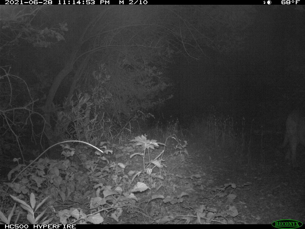 2021-06-28 Mountain Lion; motion-sensor camera