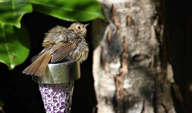 Young Robin (2 of 4)