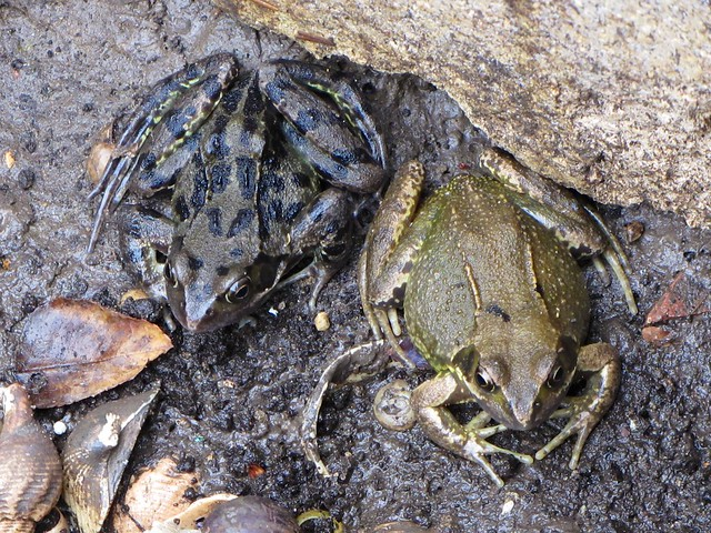 Frogs at Elm Court, June 2018