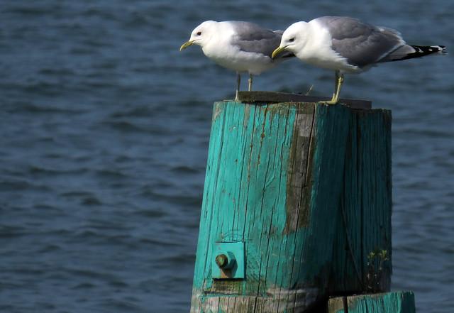 Common gull, Larus canus, Fiskmås